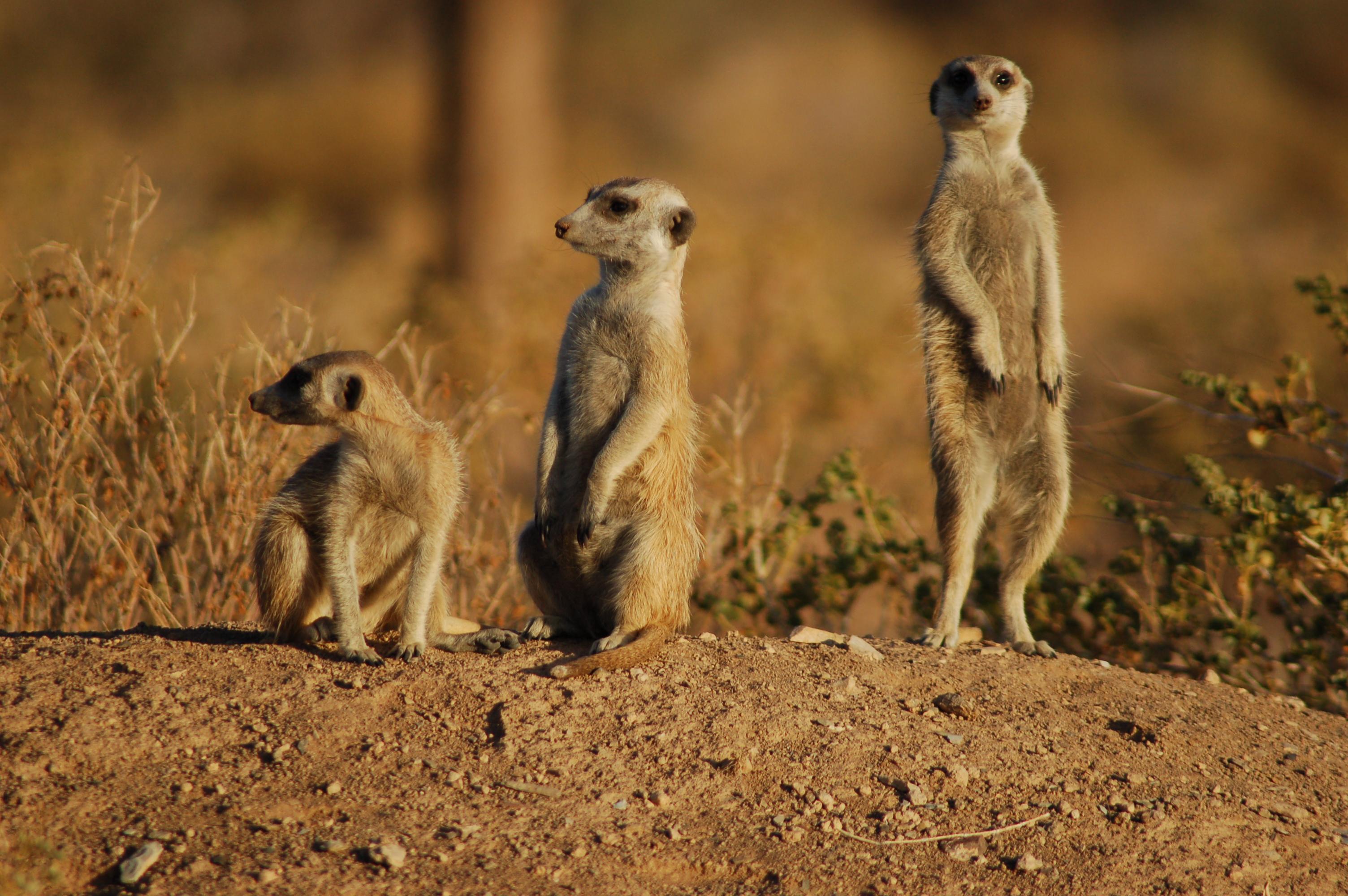 suricates_namibia_3166709126.jpg